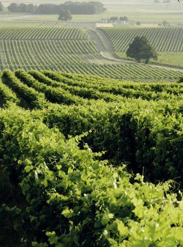 Vignoble de Cognac