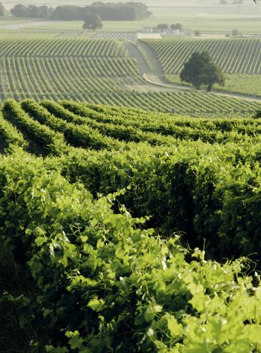 Un vignoble cognacais  ©Jas Hennessy & Co / Alfredo Piola